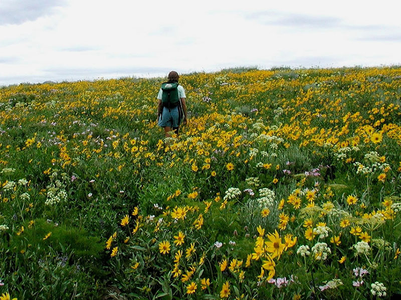 A woman walking among a field of tall forb blooms in Wyoming.