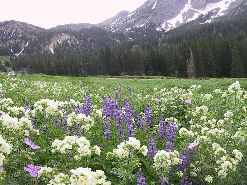 Jacob's ladder and lupine, Albion Basin