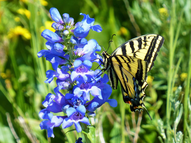 Wasatch penstemon and swallowtail butterfly.