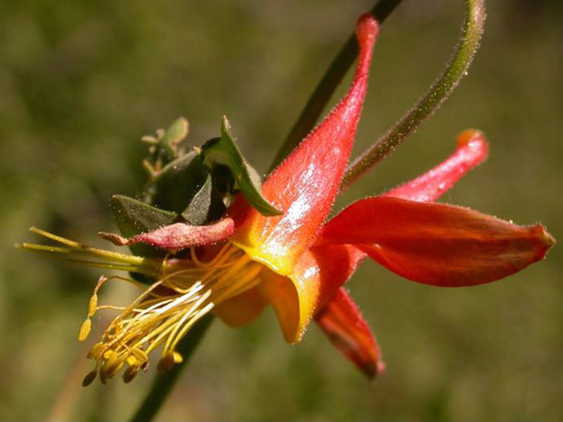 Western columbine (<em>Aquilegia formosa</em>). Photo by T. Kuhn.