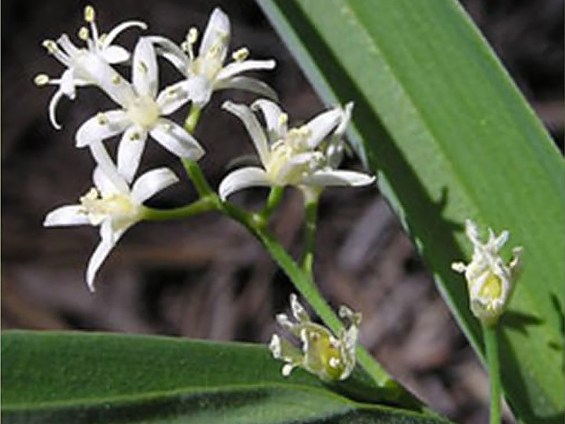 Starry false lily of the valley (<em>Maianthemum stellatum</em>). Photo by T. Kuhn.