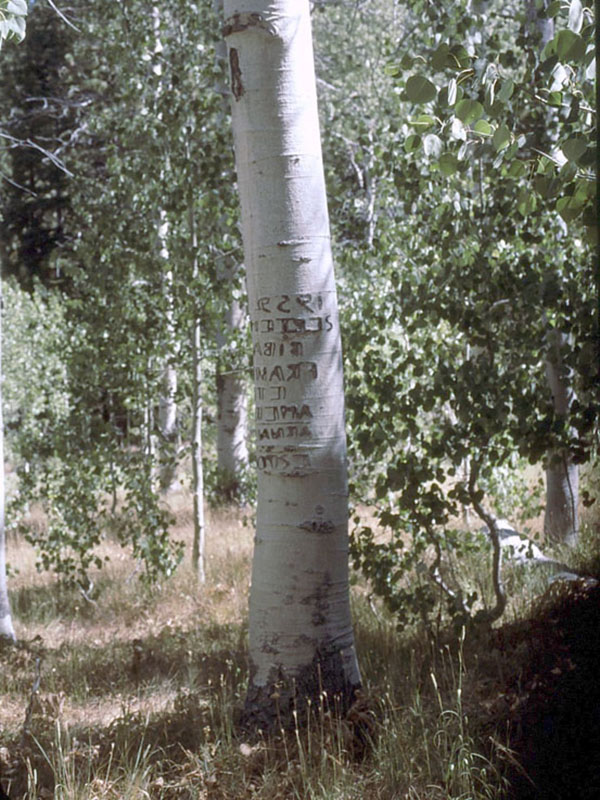 Basque writing on aspen tree from the eastern Sierra Nevada, Tahoe National Forest. Photo by L. Hanson.