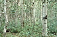 healthy aspen stand with seedlings, saplings, mature trees that you cannot see through.