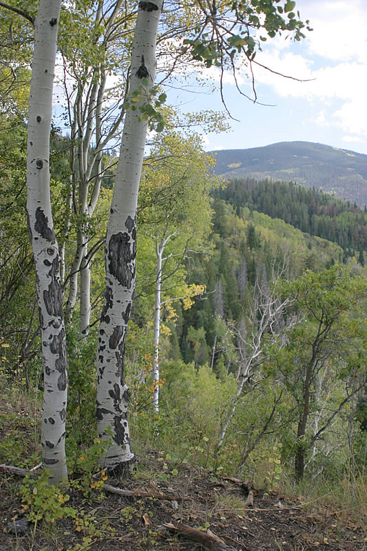 aspens with healed scars where elk or another large ungulate had eaten the bark.