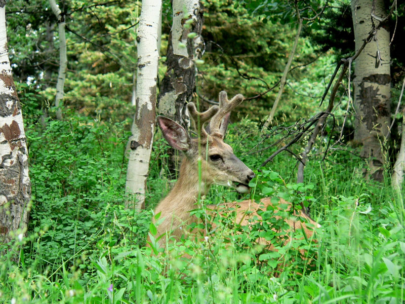 mule deer lying down in an aspen grove.