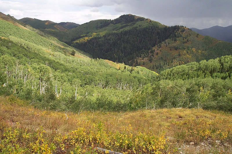 quaking aspen forest in the Walter F. Mueggler - Butler Fork Research Natural Area.