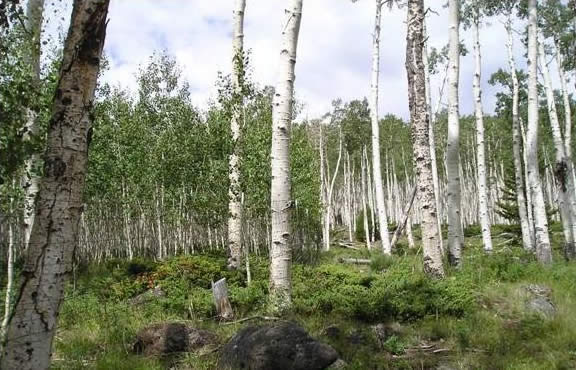 the aspens within the Pando Clone.