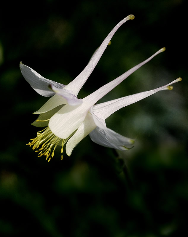 the columbine flower, Beautiful flower
