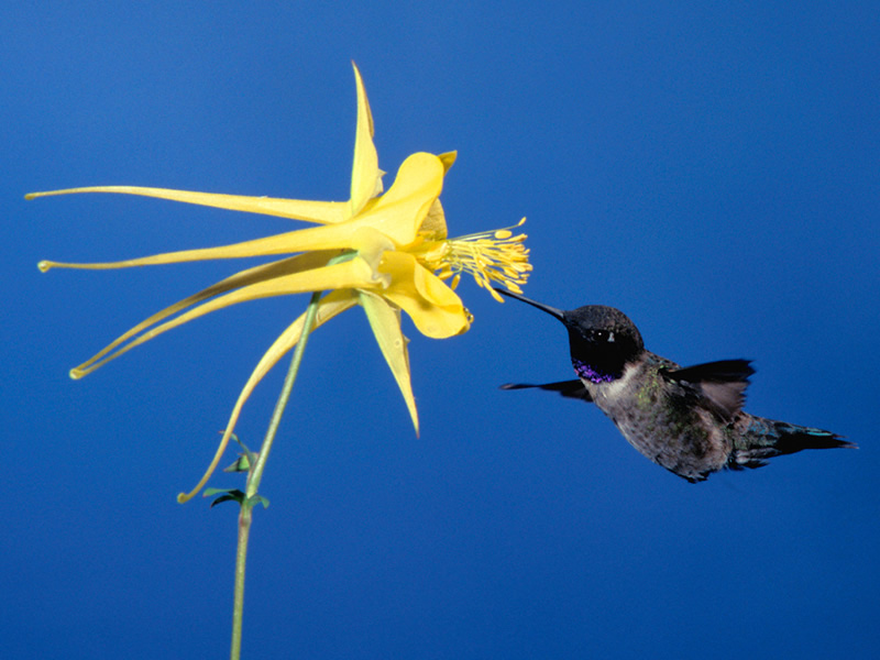 A black-chinned hummingbird pollinating a yellow columbine.