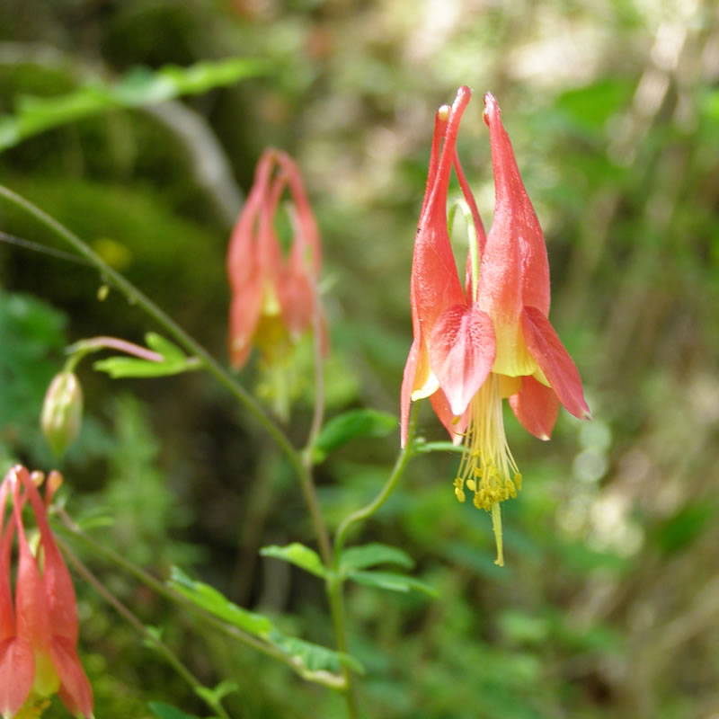 The Columbine Flower