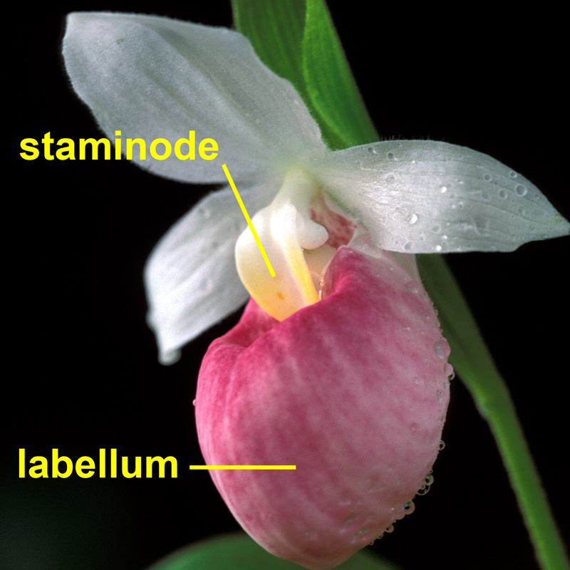 lady's slipper flower with the major petal parts labeled.