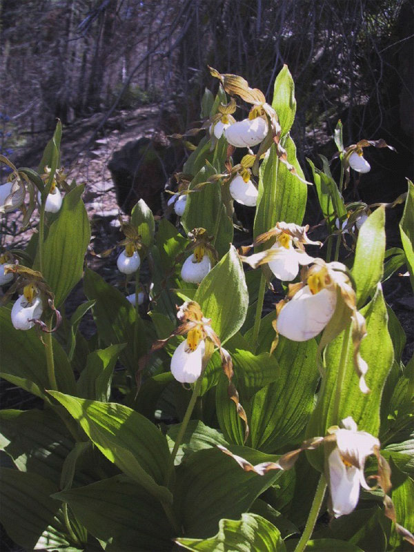 clump of mountain lady's slipper.