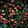 Ready for the picking, ripe small cranberries are readily observed against a backdrop of its dark green leaves. Photo copyright by R.A. Howard, Smithsonian Institution.