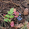 The Oregon grape in its fall coloring is a collage of green and pinkish-red leaves and blue fruits that resemble grapes.