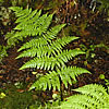 Northern wood fern (Dryopteris expansa).