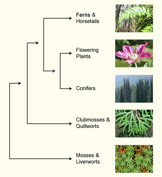A cladogram showing the general relationships among members of the plant kingdom. Includes text labels and an image of ferns and horsetails, flowering plants, coinfers, clubmosses and quillworts, and mosses and liverworts.