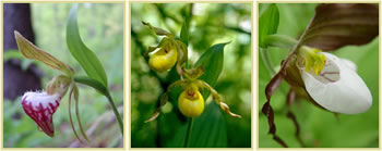 Three pictures of slipper orchid species: ram's head lady slipper, yellow lady's slipper, and mountain lady's slipper.