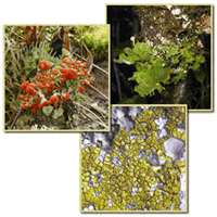Three overlain lichen images (foreground to background): Cladonia cristatella, Acarospora species, and Sticta species