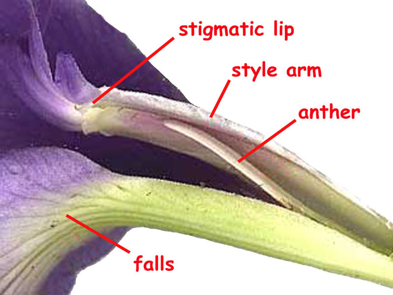 Close-up the style arm of an iris flower. The parts are labeled.