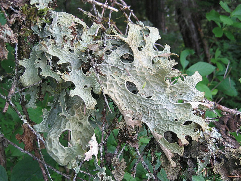 Examples of Lichens (With Diagram)