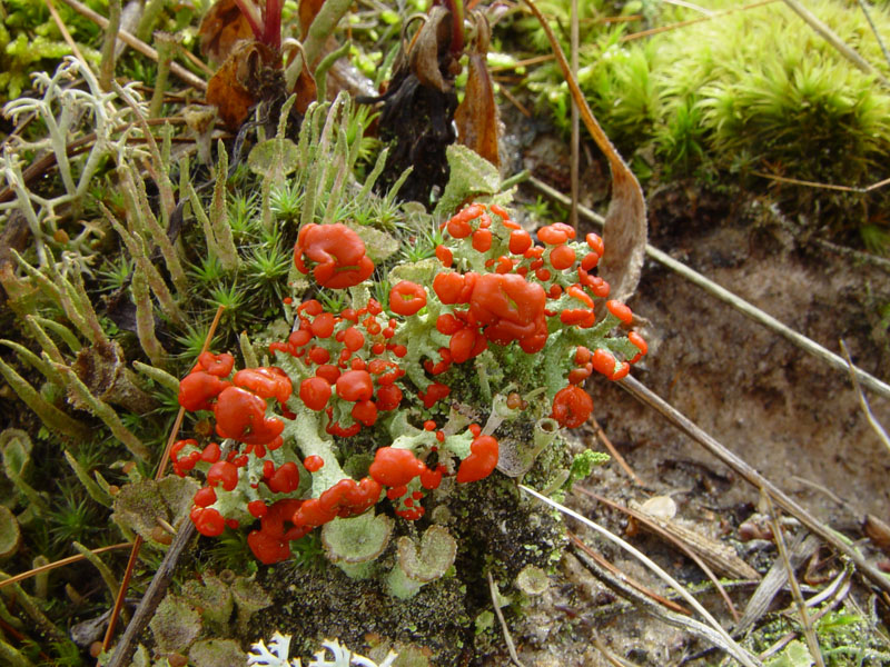 Cladonia cristatella. Photo by Charles Peirce, Michigan Wildflowers.