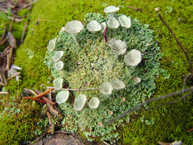 Cladonia fimbriata, trumpet lichen. Photo by Charles Peirce, Michigan Wildflowers.