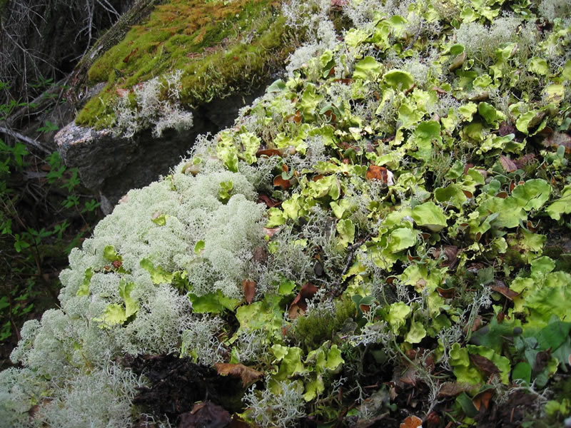 Arctic kidney lichen (green) along with Reindeer lichen (white) on rocks in Alaska. Photo by Karen Dillman, U.S. Forest Service.