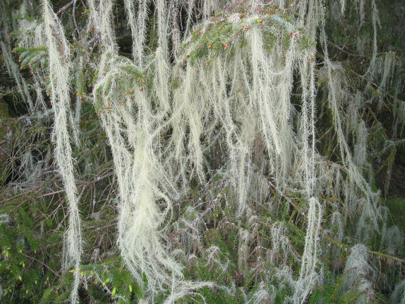 Usnea longissima, old man's beard. Photo by Karen Dillman, U.S. Forest Service.