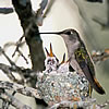 Adult hummingbird with its young on a nest made of lichen