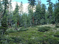 Montane mixed conifer forest with Klamath manzanita in the understory.