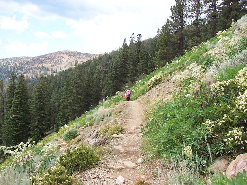 Upper montane mixed conifer forest  meets a wildflower-covered hillside on the slope of Mt. Eddy.