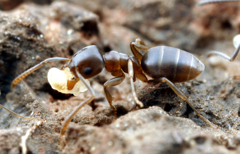Tapinoma sessile worker ant.