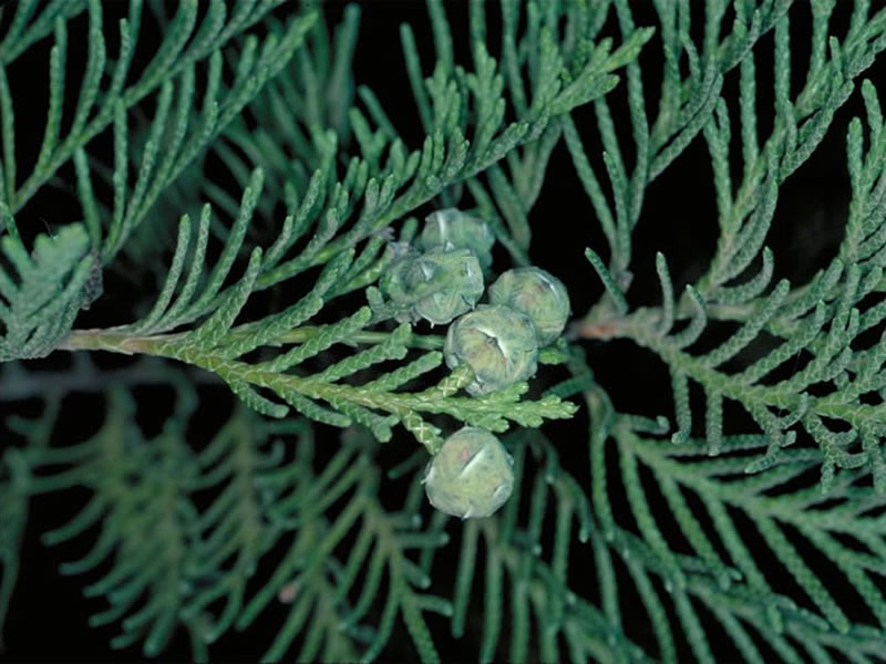 Port-Orford cedar leaves and fruit