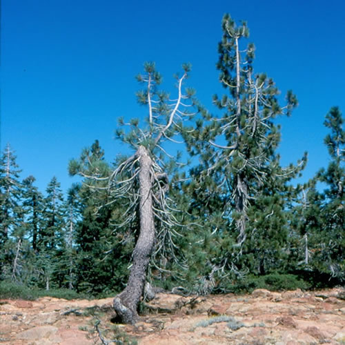 Gnarled and stunted Jeffrey pine on serpentine.