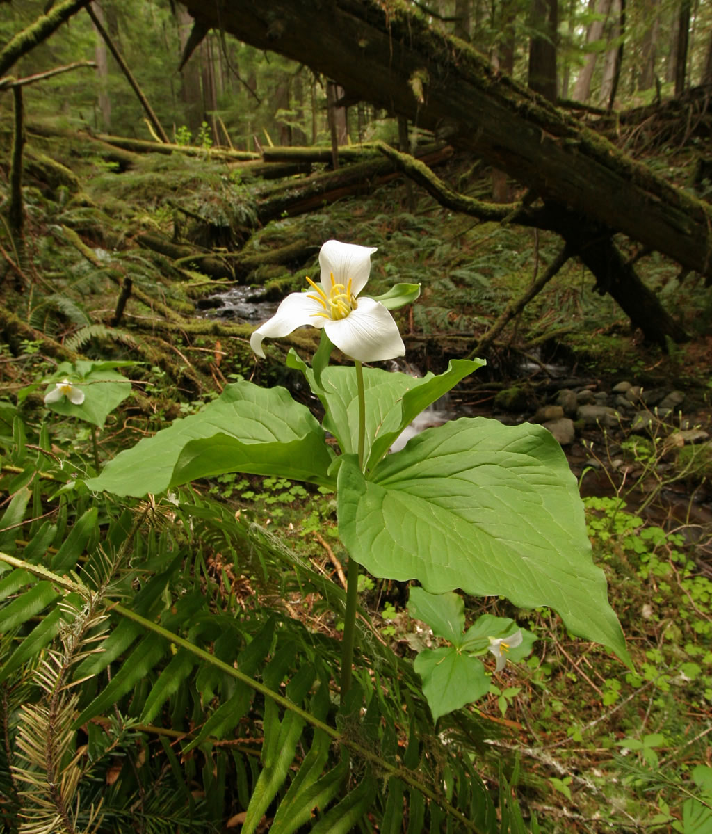About Trilliums