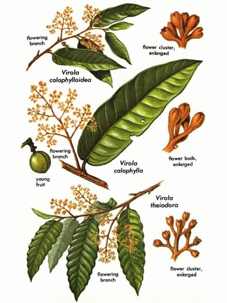 "Virola species page from ""Hallucinogenic Plants"" book."