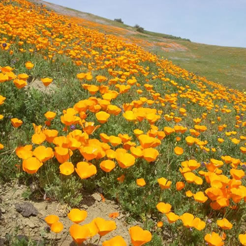 Field of California poppies.