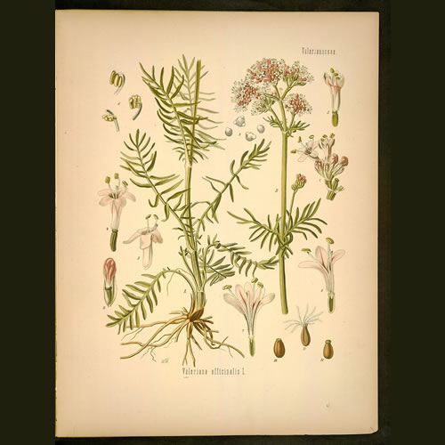 Valeriana officinalis lithograph.