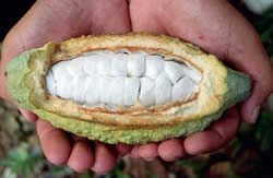 Hands holding a cacao cut open to show the seeds.