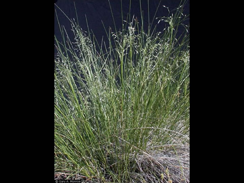 Indian rice grass.