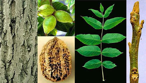 Butternut (Juglans cinerea) images, including its bark, unripe nuts, fruit, compound leaf, and stem tip.