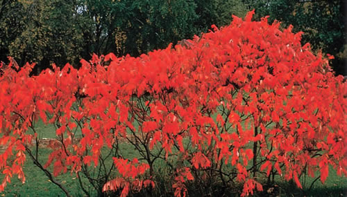 Smooth sumac (Rhus glabra).