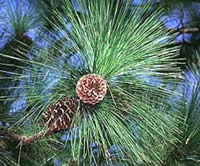 Longleaf pine branch showing needles, cones, and stems.