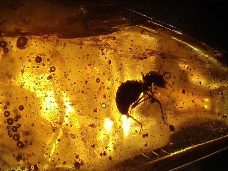 An ant preserved in amber.