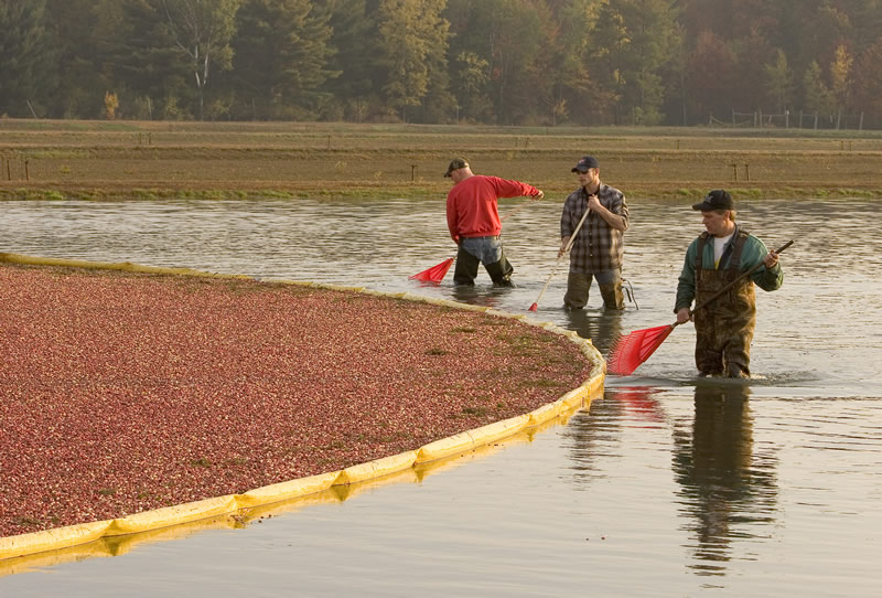 Men harvesting cranberries.
