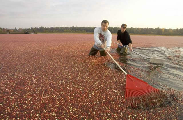 Gathering the cranberries with rakes.