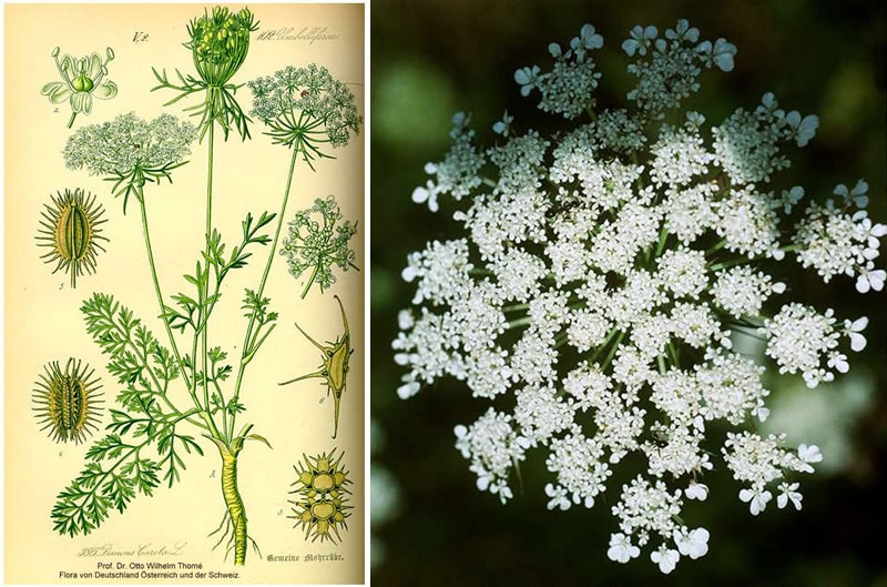 Two images of Eurasian Queen Anne's lace, left: drawing of plant and its parts, and right: flower head.
