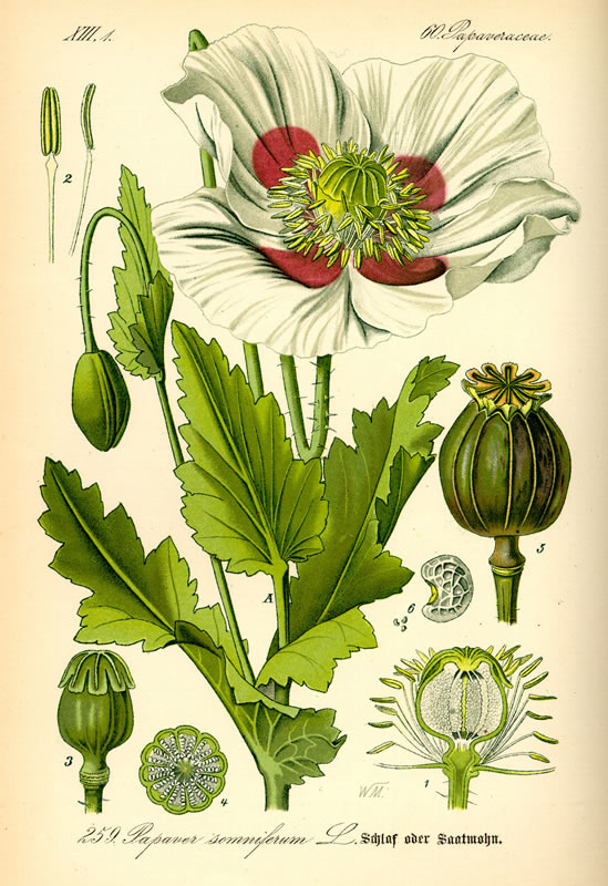 Opium poppy illustration.