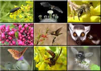 Nine tiled images of various pollinators, a beetle, bat, bee, ants, hummingbird, lemur, butterfly, wasp, and fly.