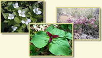 Three images of wildflowers: dwarf dogwood, red trillium, and wheel milkweed.